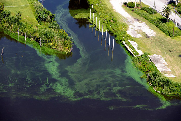 Algae Bloom In Florida